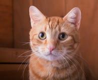 Czerwony tabby kot z nieociosanym drewnianym tłem Obraz Stock