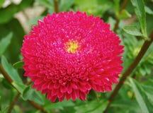 Czerwony Terry asteru kwiat Zdjęcie Stock