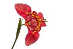 Czerwony tigridia pavonia kwiat, odosobniony, boczny frontowy widok, obrazy stock