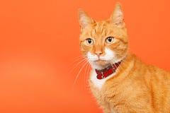 Czerwony tomcat na pomarańczowym tle zdjęcie stock