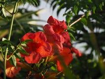 Czerwony Tubowego pełzacza drzewo z kwiatami i niebieskim niebem w tropikalnym Suriname Ameryka Południowa obrazy stock