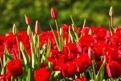 Czerwony tulipanów rosnąć Obraz Royalty Free