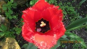 Czerwony tulipan Obrazy Royalty Free