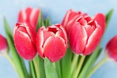 01 czerwony tulipan Zdjęcie Stock