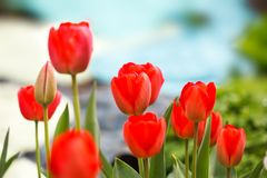 01 czerwony tulipan Zdjęcie Royalty Free