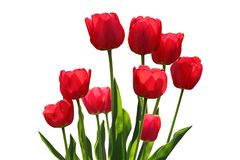 01 czerwony tulipan Fotografia Stock