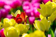 czerwony tulipan Fotografia Royalty Free