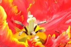 czerwony tulipan Zdjęcia Royalty Free