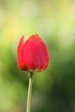 Czerwony tulipan Obraz Royalty Free
