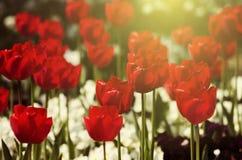 01 czerwony tulipan Fotografia Royalty Free