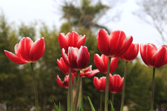 Czerwony tulipan Fotografia Stock