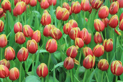 01 czerwony tulipan Zdjęcia Stock