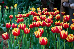 01 czerwony tulipan Obrazy Royalty Free
