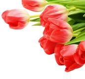 01 czerwony tulipan Zdjęcia Royalty Free