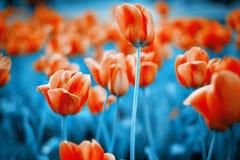 01 czerwony tulipan Obraz Royalty Free