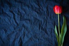 Czerwony tulipan na czarnym tle Zdjęcia Royalty Free