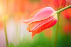 Czerwony tulipan na tle zielonej trawy zakończenie Fotografia Royalty Free