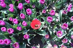 czerwony tulipan odizolowywający w rzędów purpurowych tulipanach w świetle słonecznym w rzędach w a Obraz Royalty Free