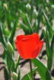 Czerwony tulipan pod światłem słonecznym zdjęcie stock