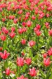 czerwony tulipan pola Zdjęcie Royalty Free