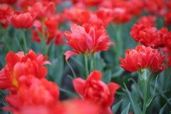 Czerwony tulipan przydzielają przeciw tłu inni kwiaty Macrophoto obraz royalty free