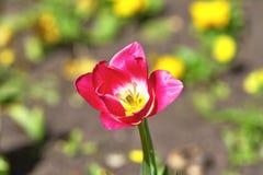 Czerwony tulipan, rozmaitości rewolucjonistki odrodzenie Kwiat otwierający w słońcu poj?cie wiosna zdjęcie stock