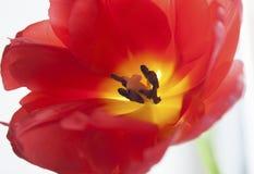 czerwony tulipan się blisko Zdjęcie Stock