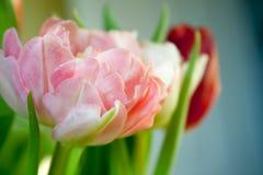 czerwony tulipan się blisko Zdjęcia Royalty Free