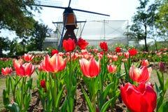 Czerwony tulipan w ogrodowym polu Obrazy Royalty Free