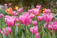 Czerwony tulipan w pepinierze Zdjęcie Royalty Free