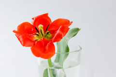 Czerwony tulipan w szklanej zlewce wypełniał z wodą zbliżenie Rewolucjonistka przepływ Fotografia Stock