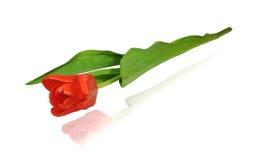 Czerwony tulipan, zbliżenie, diagonalny przygotowania Zdjęcie Royalty Free