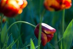 Czerwony tulipan zginający Zdjęcia Royalty Free