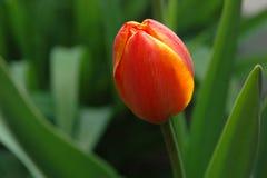 czerwony tulipanowy żółty Fotografia Royalty Free