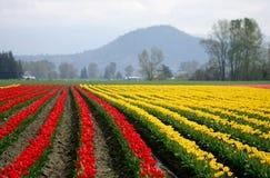 czerwony tulipanowy żółty Zdjęcia Royalty Free