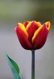 czerwony tulipanowy kolor żółty Fotografia Royalty Free