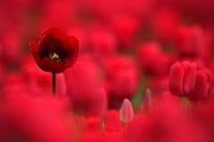 Czerwony tulipanowy kwiat, Czerwony piękny tulipanu pole w wiosna czasie z światłem słonecznym, kwiecisty tło, Holandia, holandie Zdjęcia Stock