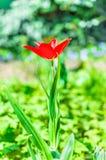 Czerwony tulipanowy kwiatu kwiat w wiośnie Obraz Stock