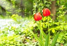 Czerwony tulipanowy kwiatu kwiat w wiośnie Zdjęcie Stock