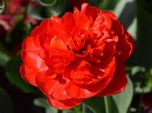 Czerwony tulipanowy kwitnienie od above w pogodnym ogródzie fotografia stock