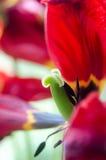 Czerwony tulipanowy makro- obraz stock