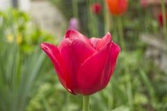 Czerwony tulipanowy okwitnięcie z rozmytym zielonym tłem i tulipanami Fotografia Royalty Free