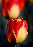 Czerwony Tulipanowy okwitnięcie Obraz Royalty Free