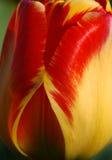 Czerwony Tulipanowy okwitnięcie Obrazy Royalty Free