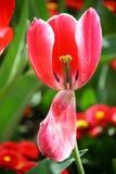 Czerwony tulipanowy pollen zdjęcia royalty free