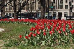 Czerwony Tulipanowy Waszyngtoński d C Obrazy Stock