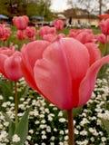 Czerwony tulipanowy wizerunek w ogródzie Fotografia Royalty Free