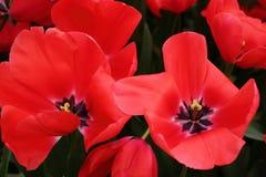 Czerwony tulipanowy zbliżenie Fotografia Stock