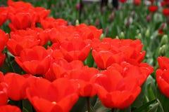 Czerwony tulipanowy zbliżenie Obraz Stock