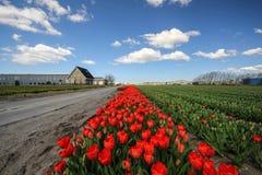 Czerwony tulipanu krajobraz w Holland Zdjęcie Stock